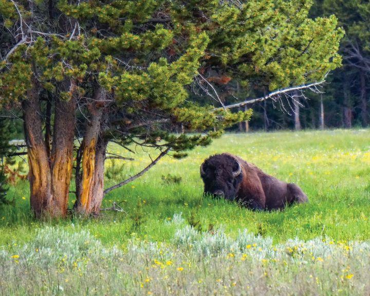 Buffalo under tree - Rosemary Wendorf