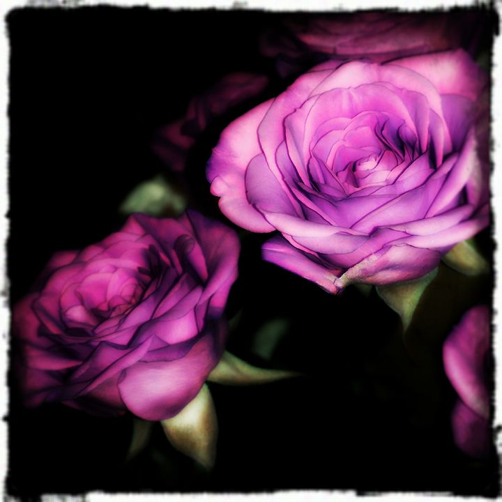 Vivid Roses - Rosemary Wendorf