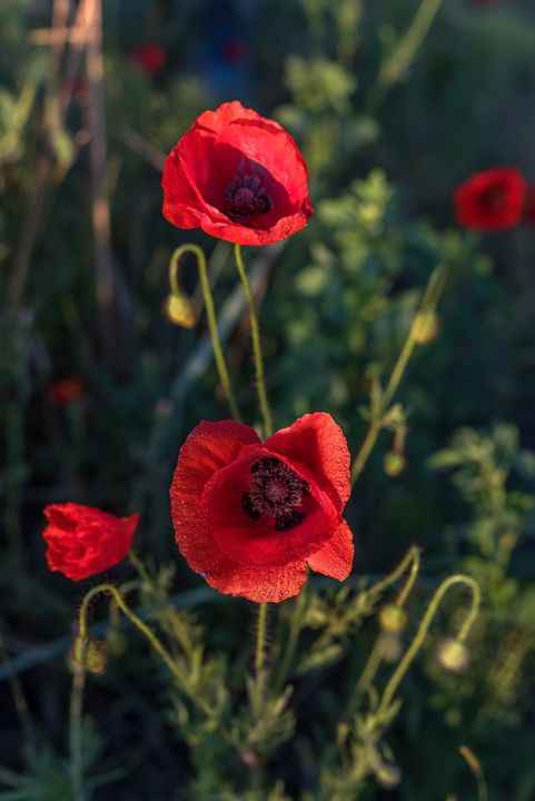 Beautiful field of red poppies. - Kalinka Georgieva