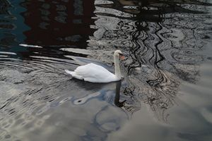 Swan on the Lee