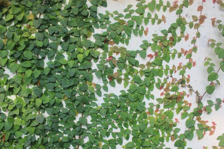green and pink wall creeper - soni