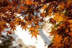 Orange Maple Leaves in the Autumn