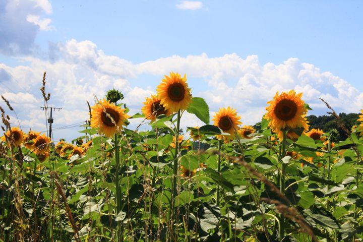 French Sunflowers - Jenny Kimble