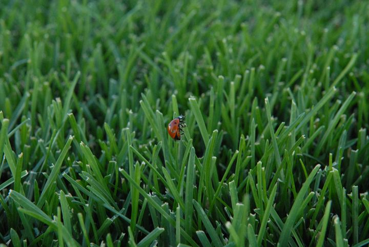 Ladybug in Grass -  Aidenma23