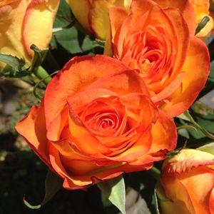 Lava roses