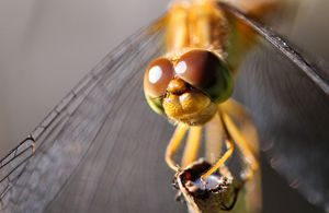 Hello Dragonfly Close-Up