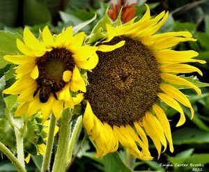 Bee and Sunflower