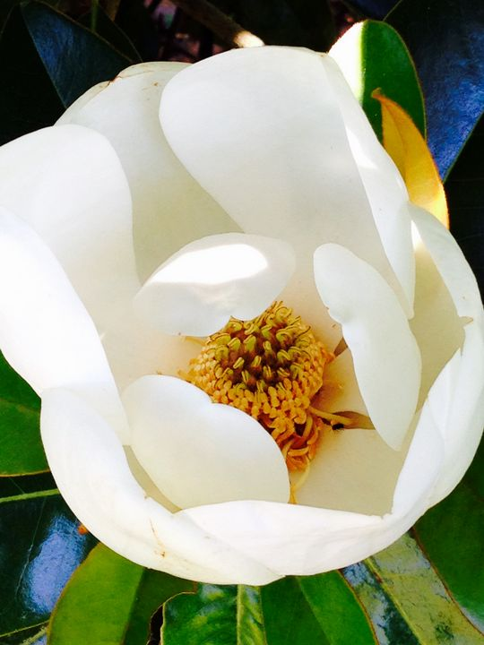 Southern Magnolia - Art by I AM Studio