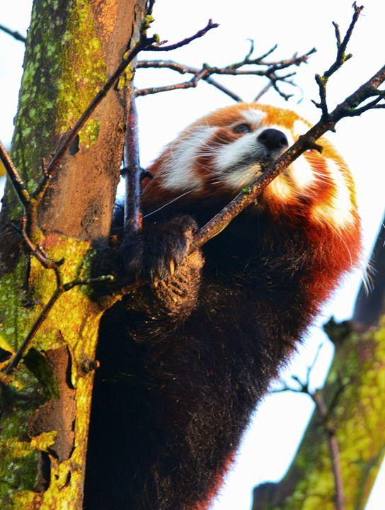 Red Panda climbing - Spade Photo