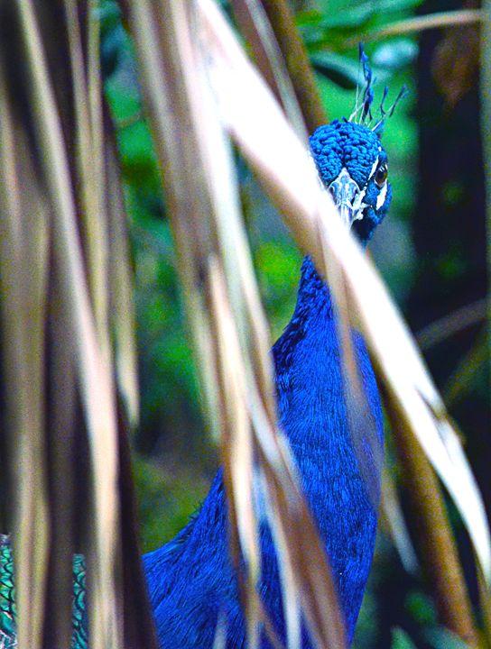 Blue Peacock - Spade Photo