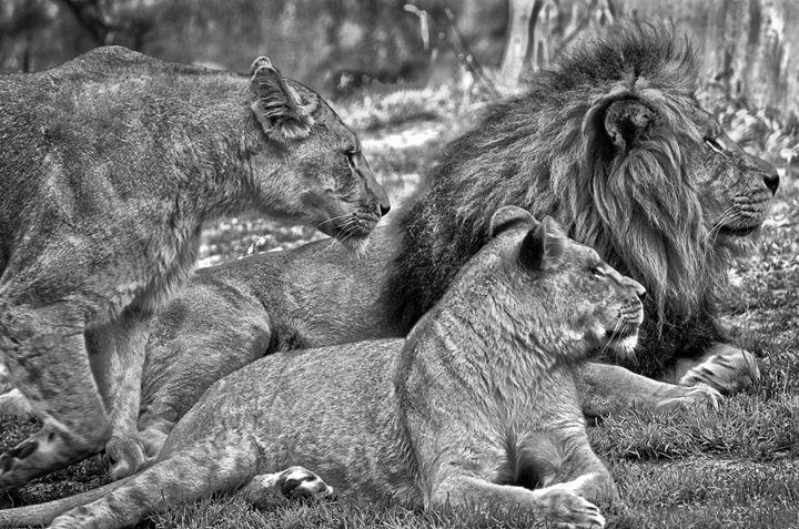 Lion pride - Spade Photo