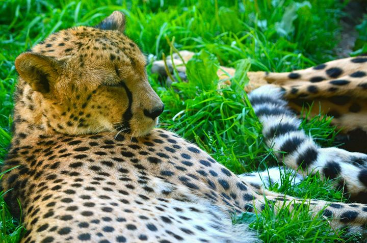 Sleeping Cheetah - Spade Photo