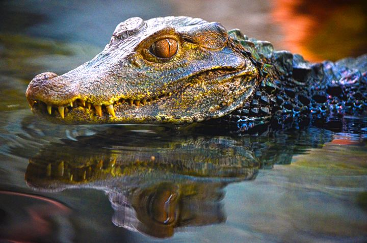 Reptile reflection - Spade Photo