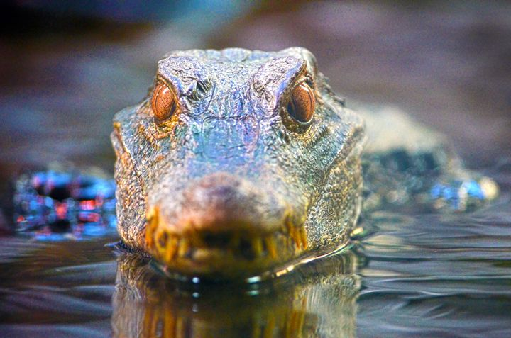 Alligator wading - Spade Photo