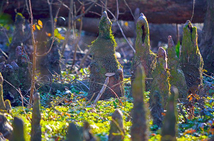Louisiana Cypress knee - Spade Photo