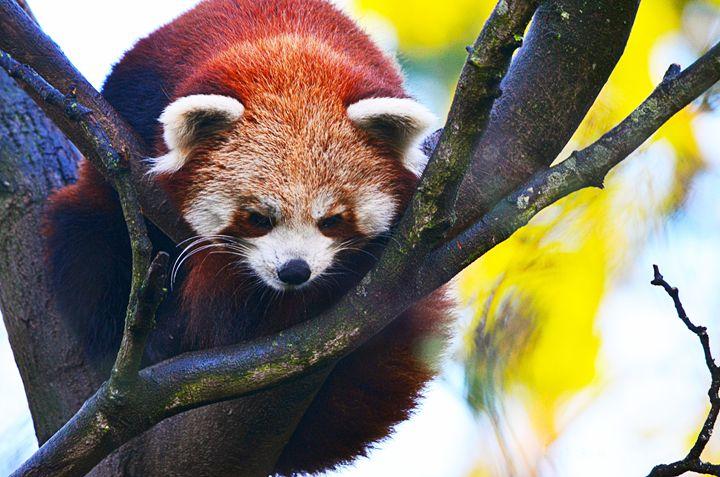 Red Panda sitting in tree - Spade Photo
