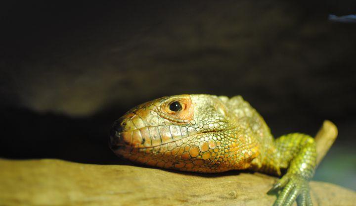 Resting Reptile - Miss Lemonade's Canvas