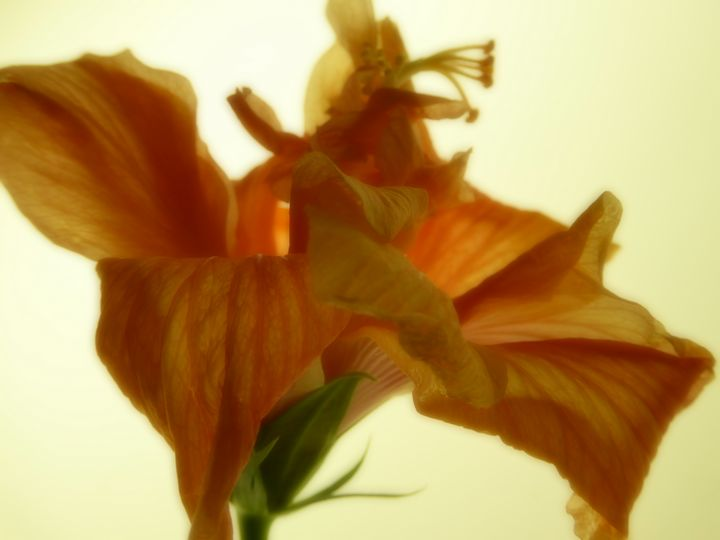 Blooming Hibiscus - Rosa's Photography