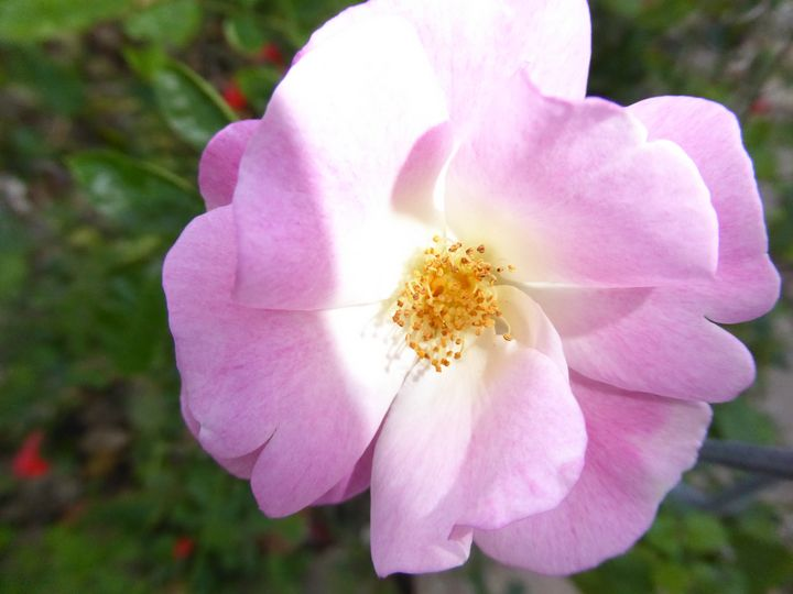 Softly Pink - Rosa's Photography