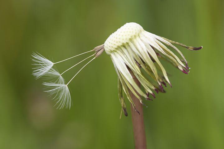 overblown dandelion - Art Gallery