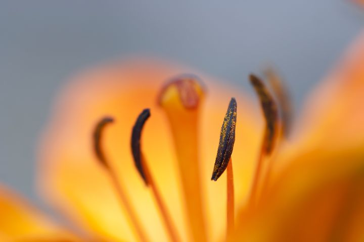 bloom of lily - Art Gallery