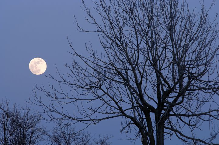 moon and bare tree - Art Gallery