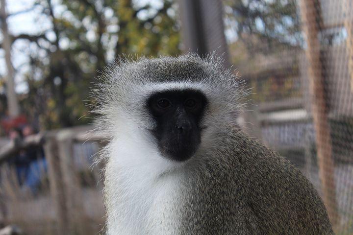 Monkey - Stunning Art