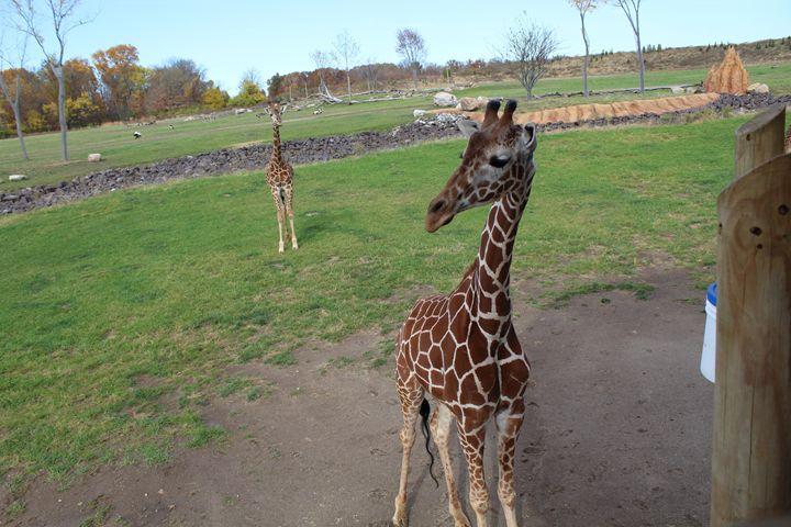 Giraffe - Stunning Art