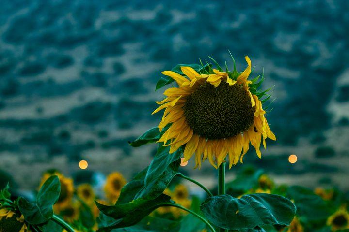 Sun Flower - stuts