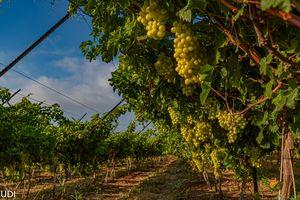 had a vine-garden on a fertile hill