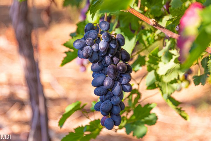 A branch with one cluster of grapes - stuts