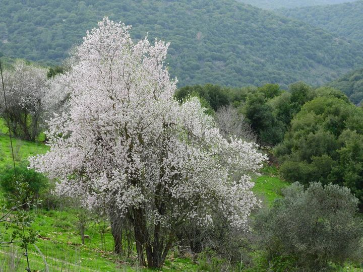 The almond blossoms against a backgr - stuts