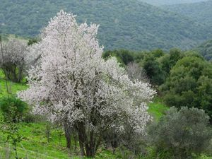 The almond blossoms against a backgr