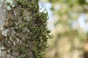 True Moss