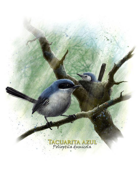 Masked gnatcatcher - Hierax