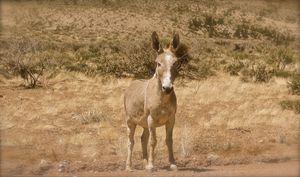 Grand Canyon Wild Jenny Donkey - Nobility Ranch, Season M. Ellison