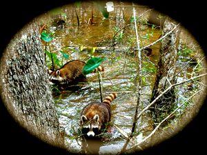 Swamp Coons - Nobility Ranch, Season M. Ellison