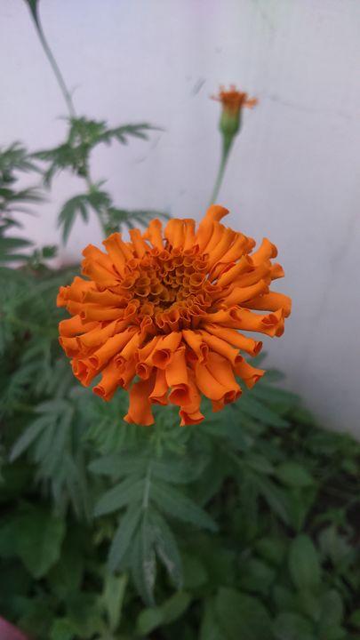 Marigold - Swati Choudhary