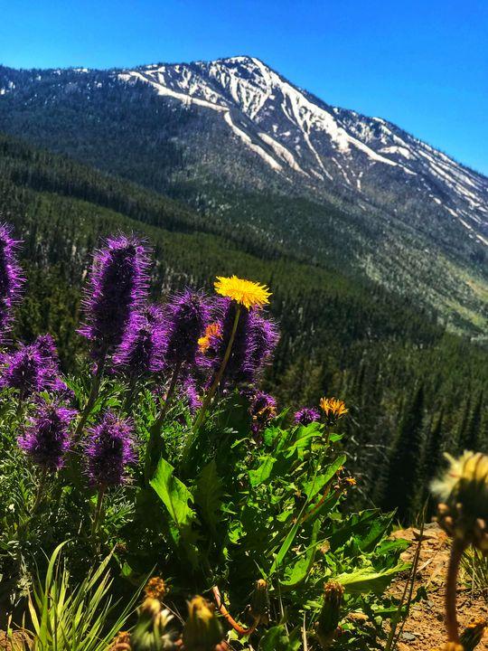 rocky mountain dandelion - kase