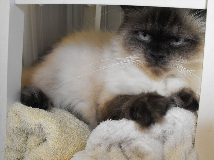 Grumpy Himalayan Cat - Melissa Anthony