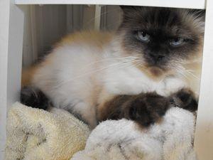 Grumpy Himalayan Cat