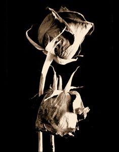 Waning Roses