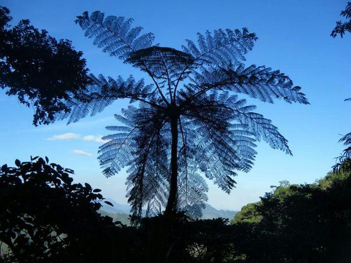 Fan Palm - chachiecoco