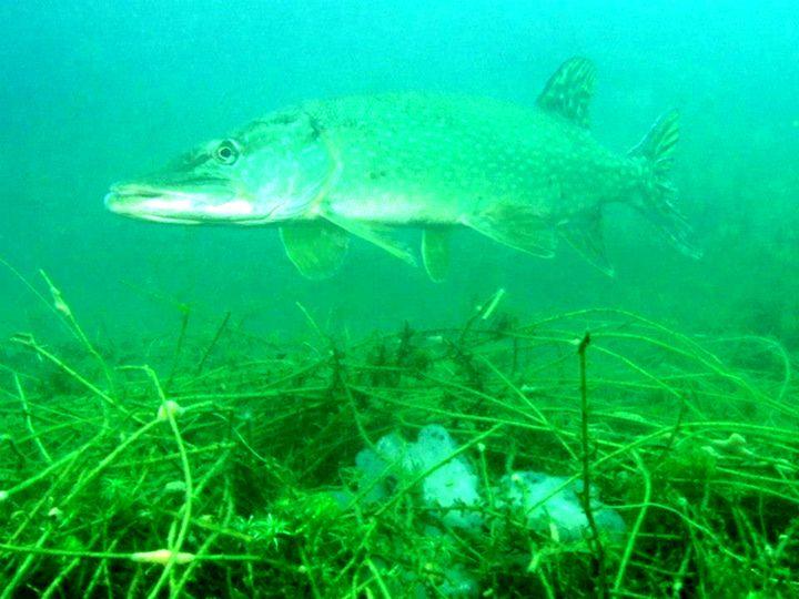 Fish 6 - chachiecoco