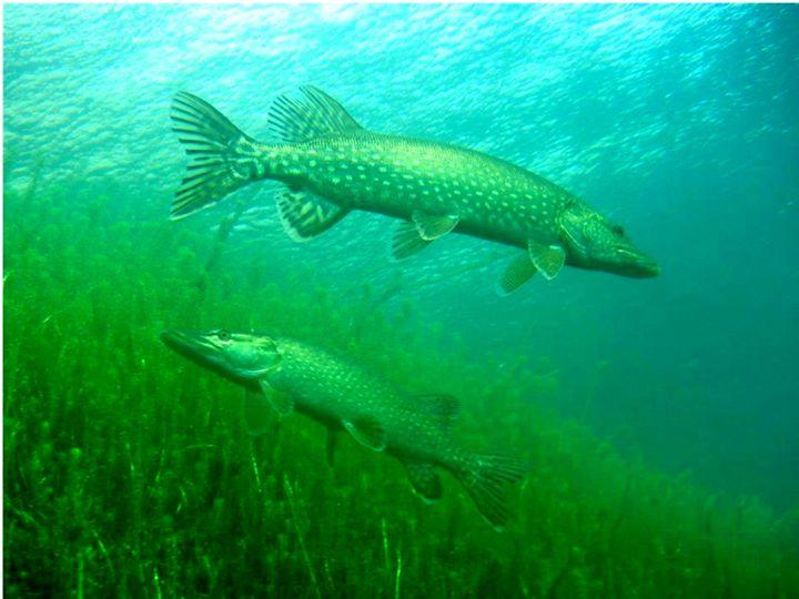Fish 7 - chachiecoco