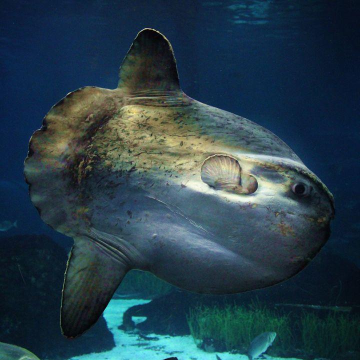 Ocean Sunfish - EllArtz Studios