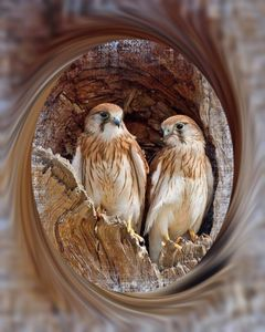 Beautiful Falcons