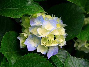 Blue/Yellow Hydrangea