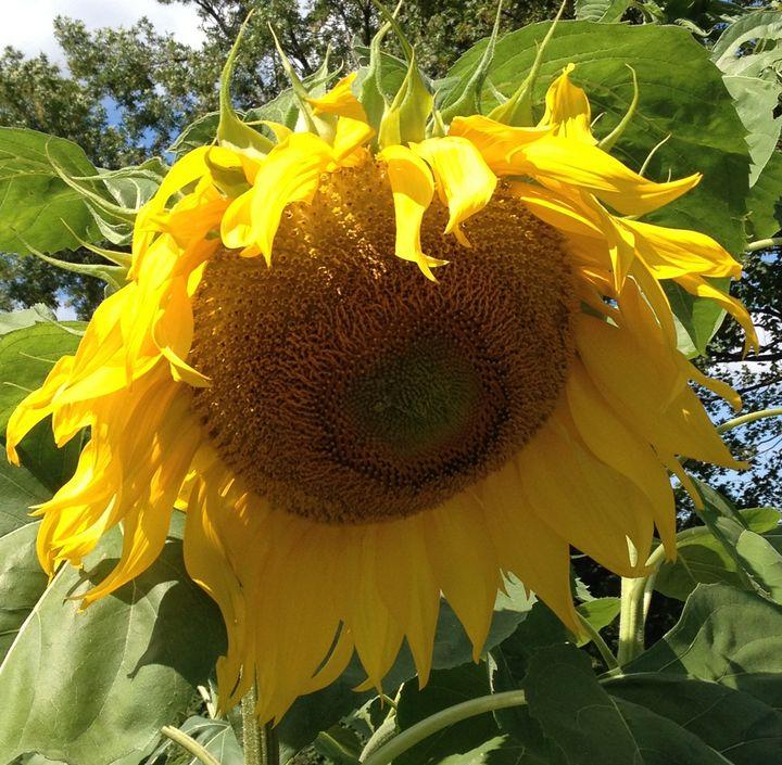 Smiling Yellow Sunflower - Rebecca K. Williams