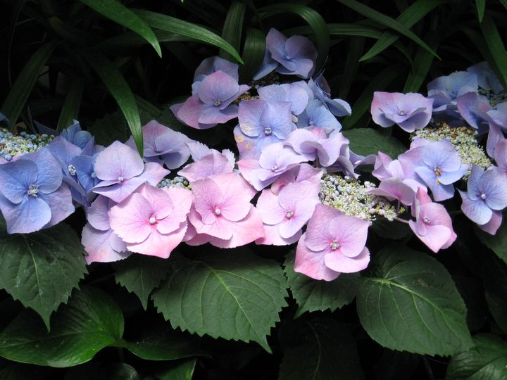 Blue Lace Cap Hydrangea - Rebecca K. Williams